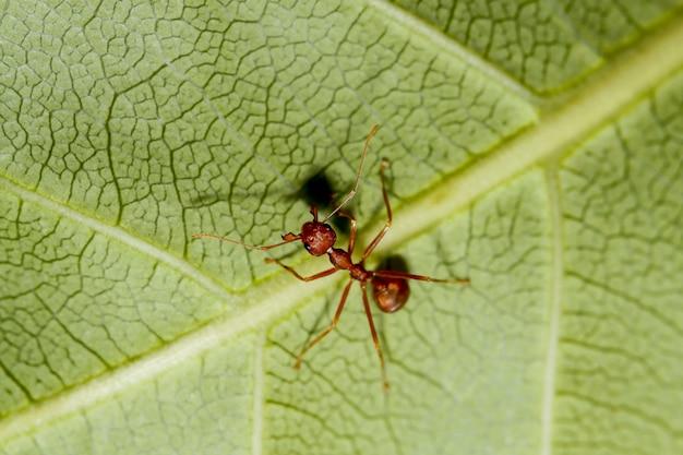 Makro- czerwona mrówka na zielonym liściu