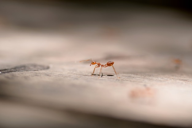 Makro czerwona mrówka