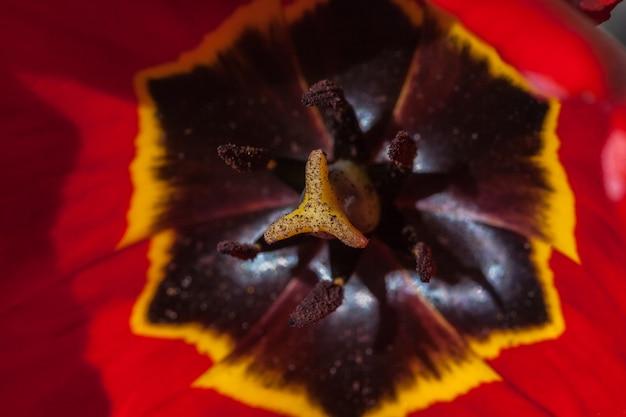 Makro czerwony tulipan. koncepcja wiosny