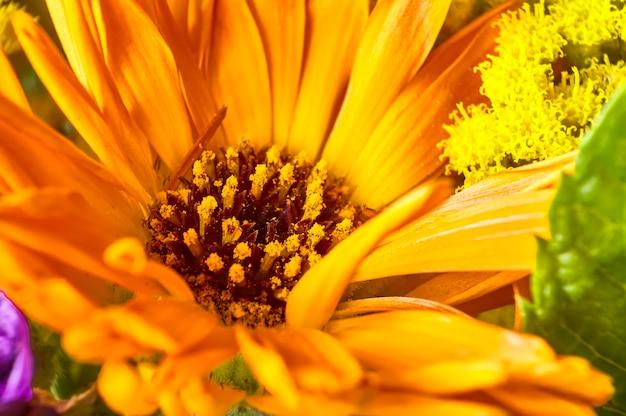 Makro detal wnętrza żółtego kwiatka, gdzie pistolety i pyłek są bardzo dobrze znane.