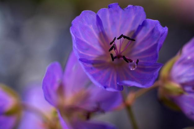 Makro- fotografia błękitny bodziszka kwiat