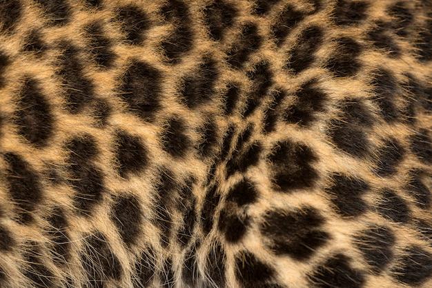 Makro futra lisiątko cętkowanego lamparta panthera pardus