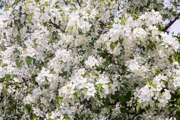 Makro gałęzi drzewa jabłoni pokryte białymi kwiatami kołyszące się na wietrze na dzień wiosny.