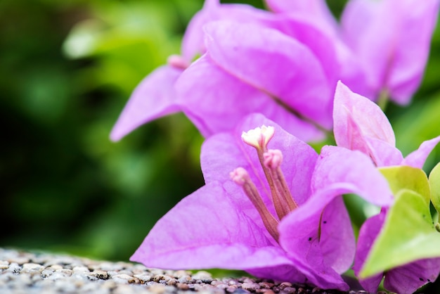 Makro- istna natura bougainville papieru kwiatu botaniczny