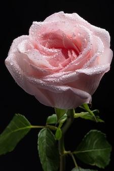 Makro- jasnoróżowy róża pączek z wodą opuszcza na płatkach na czarnym tle