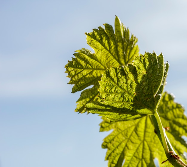 Makro kiełków winorośli w winnicy bardolino.
