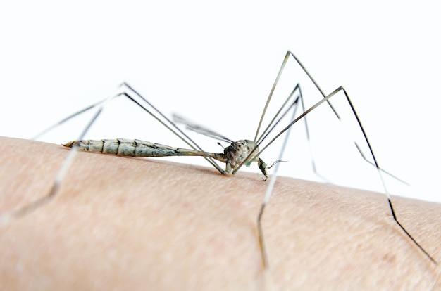 Makro komara na skórze i komarach wysysa krew.