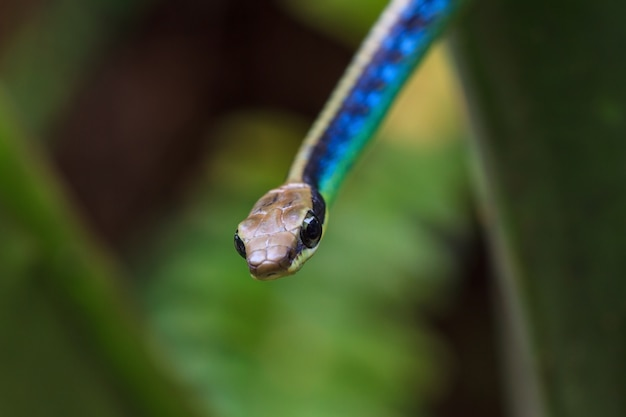 Makro- malujący węża bronzeback