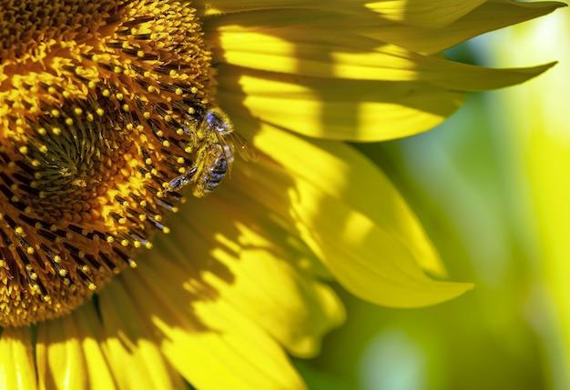 Makro miodu i pszczoły na słoneczniku, zbliżenie pszczoły na słoneczniku, wydobywanie miodu