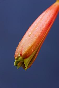 Makro narodzin kwiatów w kształcie dzwonka