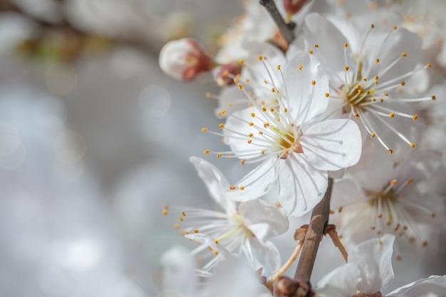 Makro obraz wiosennych kwiatów wiśni