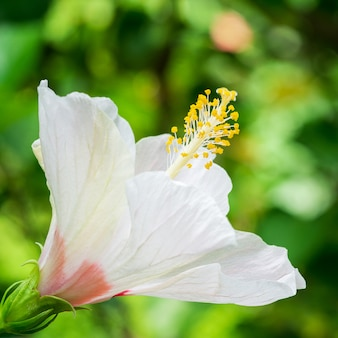 Makro- obrazek biały hibisceae kwiat