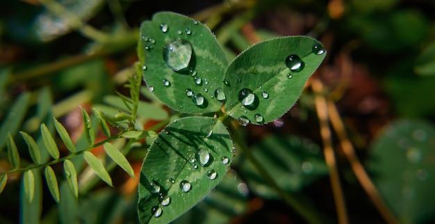 Makro obrazu zielona koniczyna z kroplami rosy na płatkach. koncepcja wakacji świętego patryka.