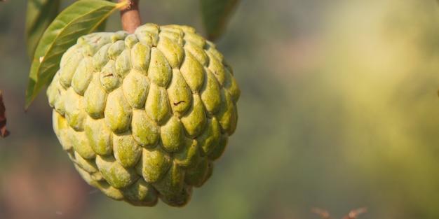 Makro owocu soursop pośród zielonych kolorów natury