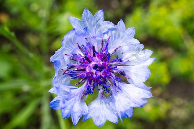 Makro pędu niebieskiego bławatka na niewyraźną zieleń natury. chaber centaurea montana to narodowy kwiat estonii.