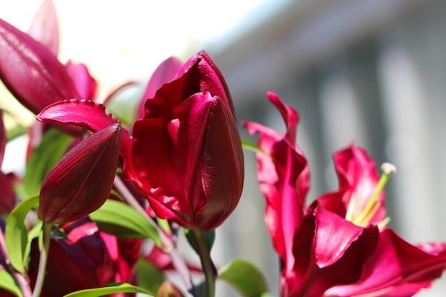 Makro pędy bordowych pąków lilii na tle nieba w słońcu