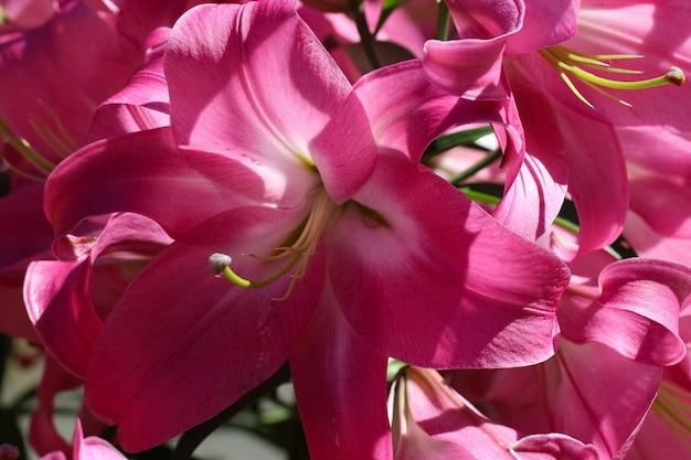 Makro pędy różowej lilii słupki pręciki płatki w słońcu