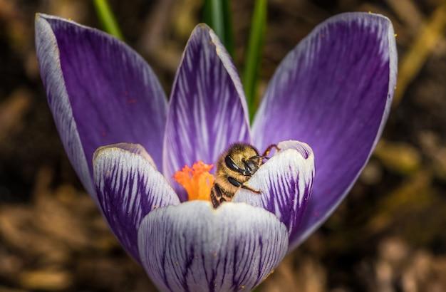 Makro pięknego fioletowego kwiatu crocus vernus z pszczołą