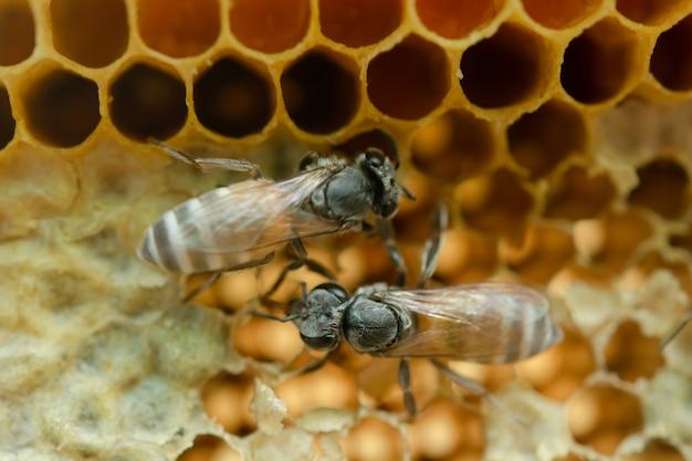 Makro pracujących pszczół na plastrze miodu