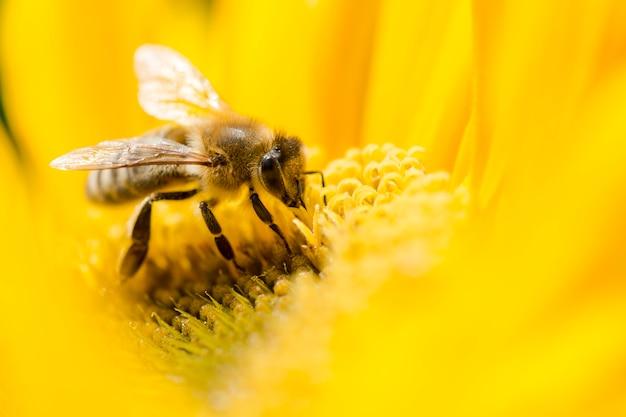 Makro- pszczoła na żółtym kwiacie