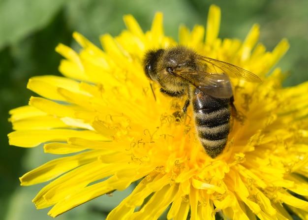 Makro pszczoły siedzącej na żółtym kwiecie mniszka lekarskiego