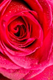 Makro różowa róża