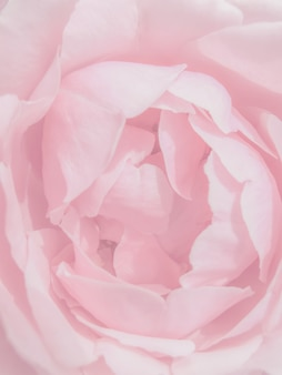 Makro różowe płatki róż tekstury. abstrakcjonistyczny tło, piękni róża kwiatu płatki
