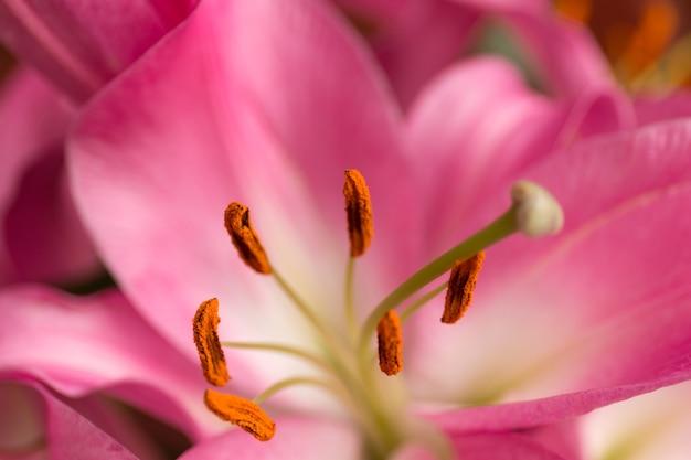 Makro różowy duży kwiat lilii z miękką fokusem streszczenie bliska płatek