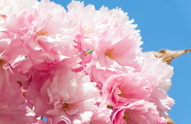 Makro różowy japoński kwiat gałązki wiśni na tle błękitnego nieba