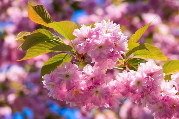 Makro różowy japoński kwiat gałązki wiśni