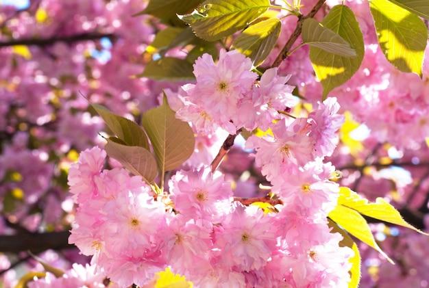 Makro różowy kwiat wiśni japońskiej gałązki (tło natury)