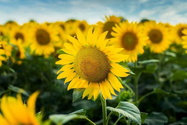 Makro słonecznika przeciw błękitne niebo i pole słoneczników.