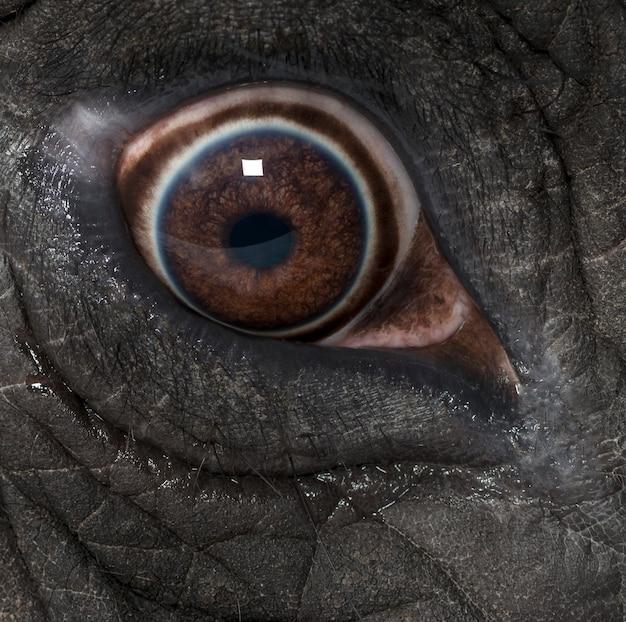 Makro słonia afrykańskiego