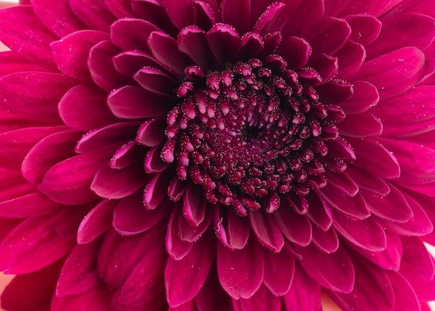 Makro strza? z czerwonym kwiatem chryzantemy na bia? ym tle