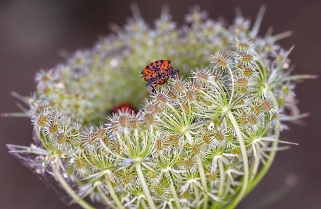Makro strza? z graphosoma lineatum na kwiatek