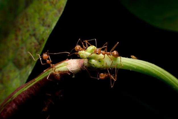 Makro- strzał czerwona mrówka w naturze. czerwona mrówka jest bardzo mała. selektywne skupienie,
