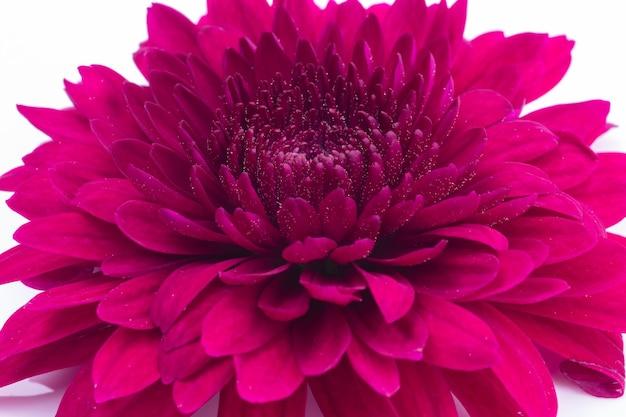 Makro strzał czerwony kwiat chryzantemy na białym tle.