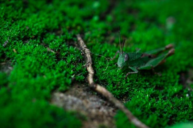 Makro- strzału szczegół mały pasikonik na zielonej trawie. ekologia owadów. małe zwierzę na świecie. cykl życia konika polnego