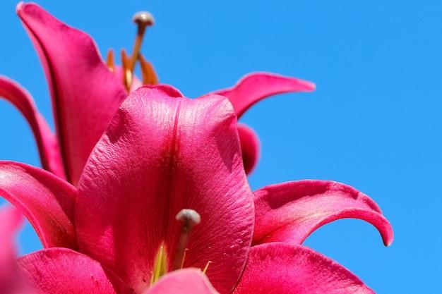 Makro strzelać różowe płatki lilii na tle błękitnego nieba w słońcu