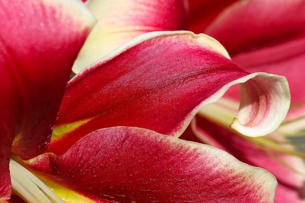 Makro strzelać z czerwonych żółtych płatków lilii jako naturalnego tła lub tekstury