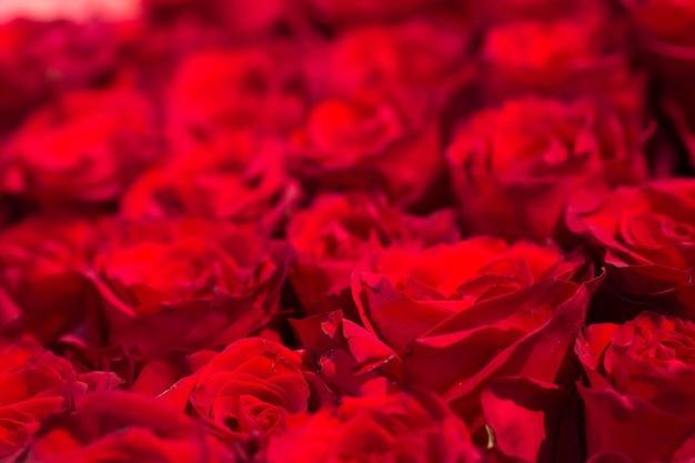 Makro świeżych czerwonych róż