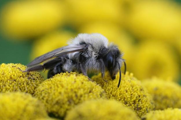 Makro szarej pszczoły górniczej zbierającej pyłek z żółtego kwiatu