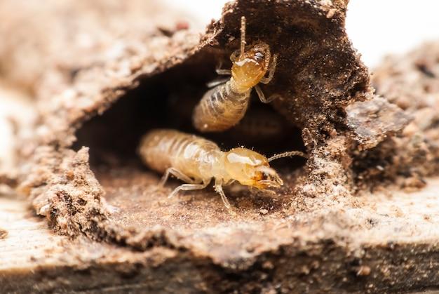 Makro termitów na rozkładającym się drewnie
