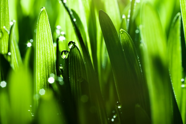 Makro tło, woda opuszcza na zielonej trawie. tło pulpitu. selektywne ustawianie ostrości.