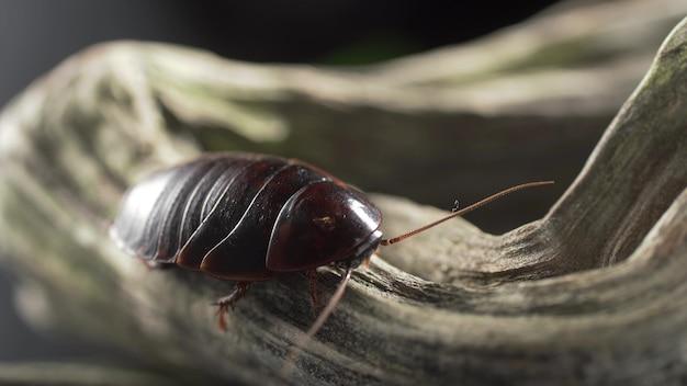 Makro wideo wiele amerykańskich karaluchów jedzących pożywienie w kanalizacji.