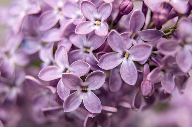 Makro- wizerunek wiosna lili fiołkowi kwiaty