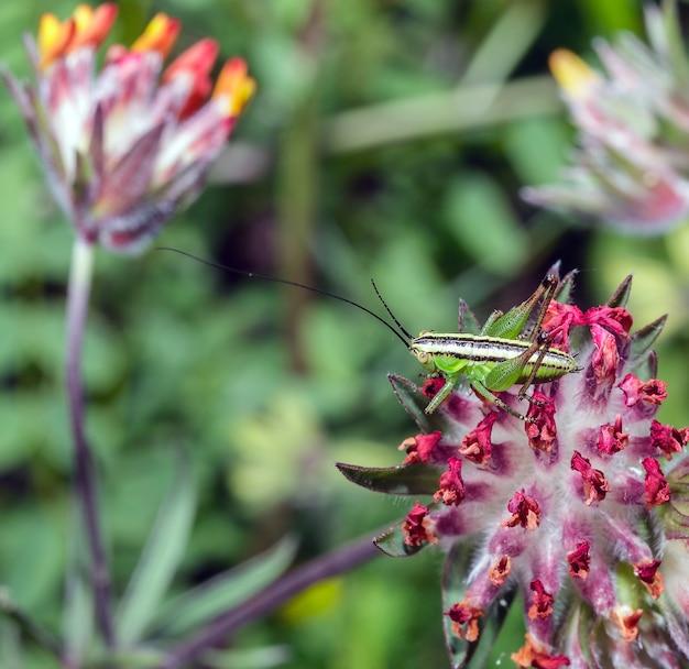 Makro yersinella raymondi, nazwa zwyczajowa raymond's bush-cricket na kwiatku
