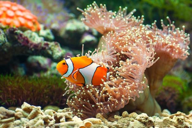 Makro z bliska clownfish z anemon