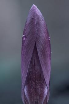 Makro zamkniętego fioletowego kwiatu crocus vernus