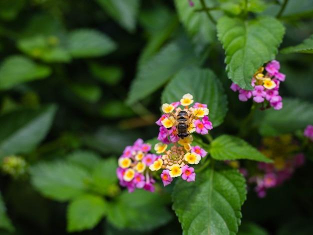 Makro zbliżenie ozdobnego kolorowego kwiatu żywopłotu, płaczącej lantany, lantana camara uprawianej jako pszczoła bogata w miód nektarowy